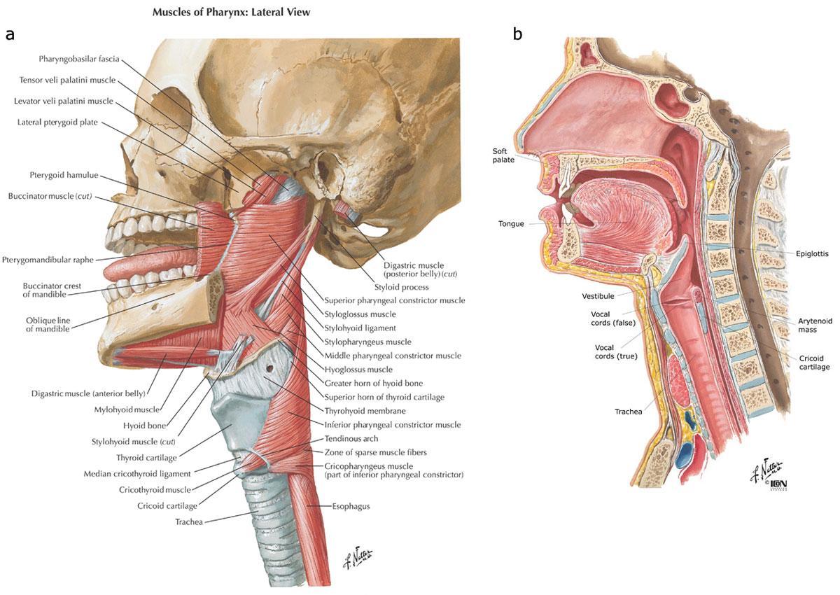 lateral view  Palatoglossus