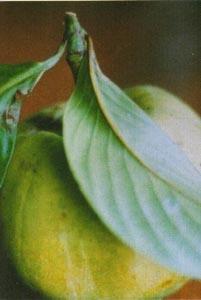 Garcinia cambogia is it safe for diabetics photo 1