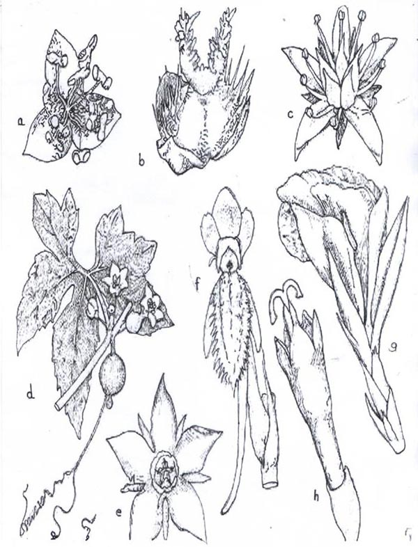 types of flowers drawing. flower types and arrangement: a, staminate (perianth uniseriate); b, pistillate c. bisexual biseriate of flowers drawing